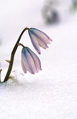 Засніжена весна